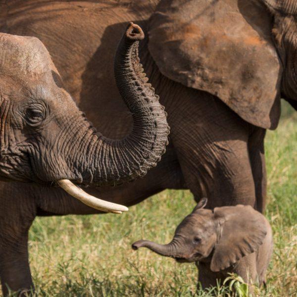 Tarangire tanzania elephant family | artikelhubben